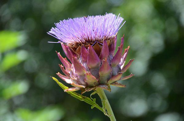2-8-fleur-carde.jpg