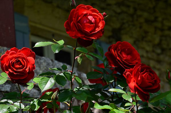 roses-rouges-26-5-12.jpg