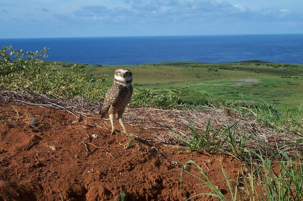 Endemic-Clarion-burrowing-owl----ecsc.edu.jpg