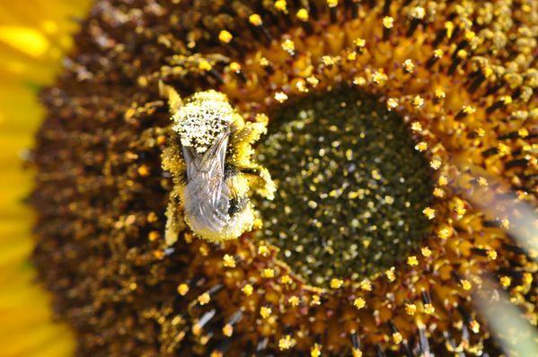 l-abeille.jpg