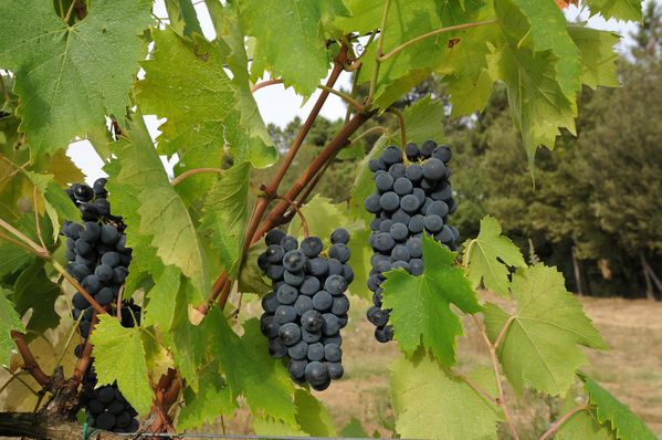 Sangiovese-09-2011.jpg