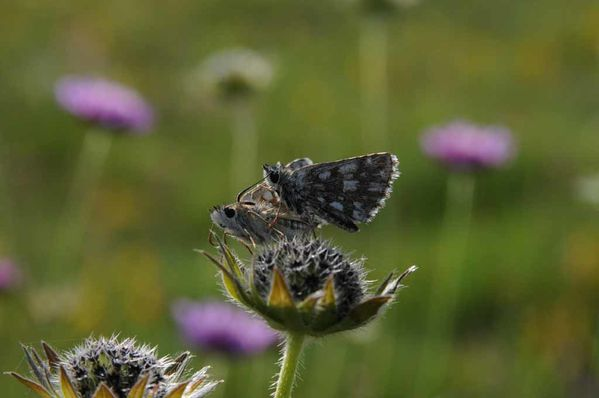 Papillons-insectes-2 3890