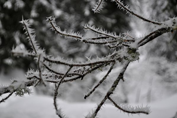 Branches-givrees.jpg