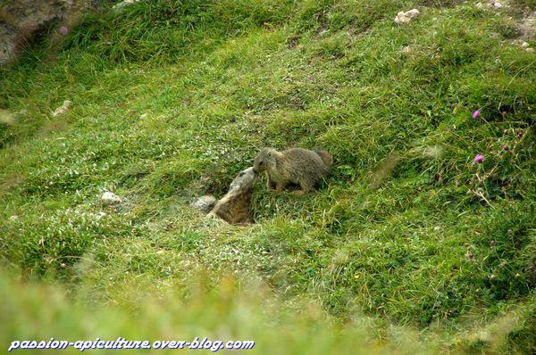 Marmotte (12)