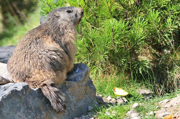 Marmotte 2206