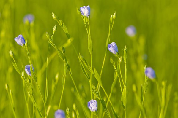 Lin-textile-en-fleur-champ-Agriculture-020.jpg