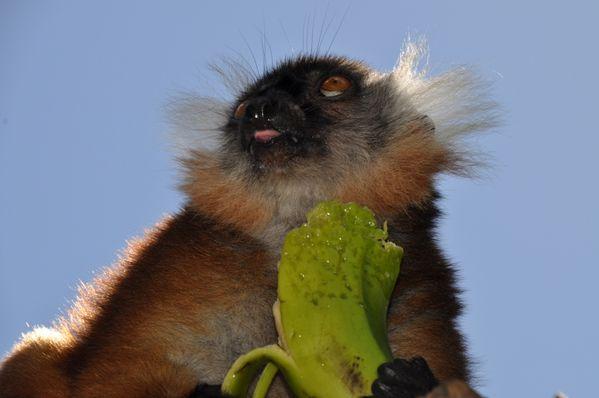 Eulemur macaco (11)