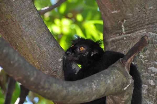 Eulemur macaco (17)