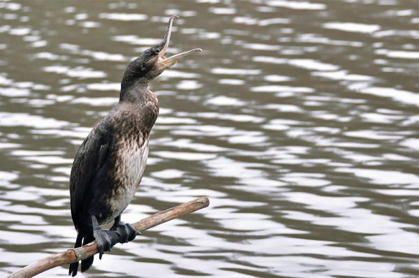 cormoran 2