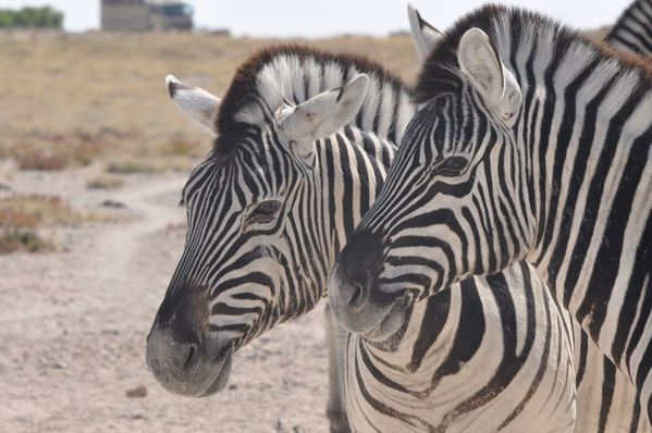 Namibie-zebres-de-plaine-Equus-burcheli--461.JPG