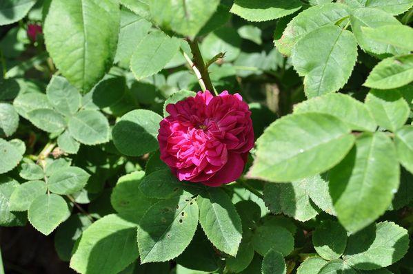 15 - Rose de Rescht