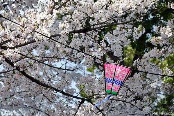 Cerisier-japonais 6227mini
