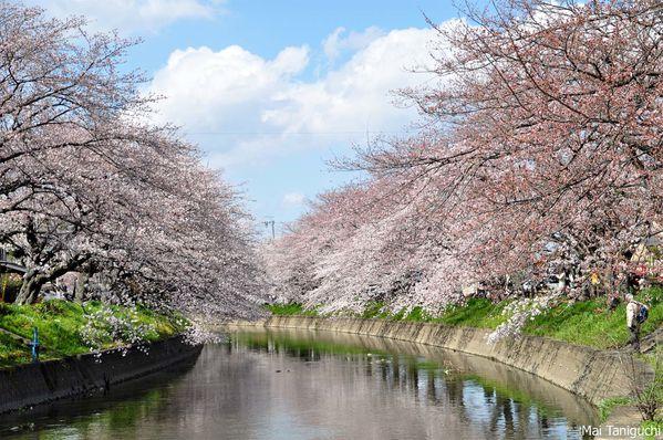 Cerisier japon le blog de mai - Greffe du cerisier au printemps ...