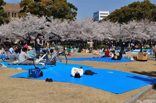 Cerisier-japonais 6494mini