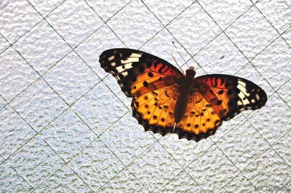 papillons-2011 3424mini