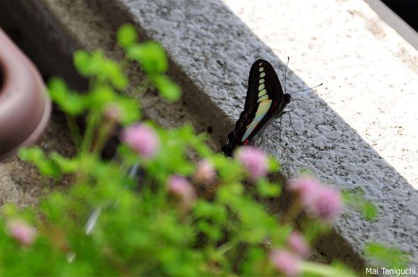 papillons-2012 6753mini