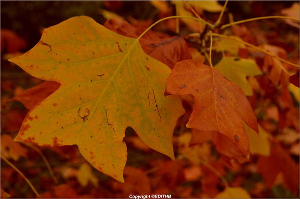 FEUILLE AUTOMNE (1)