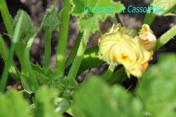 Courgettes_T.jpg