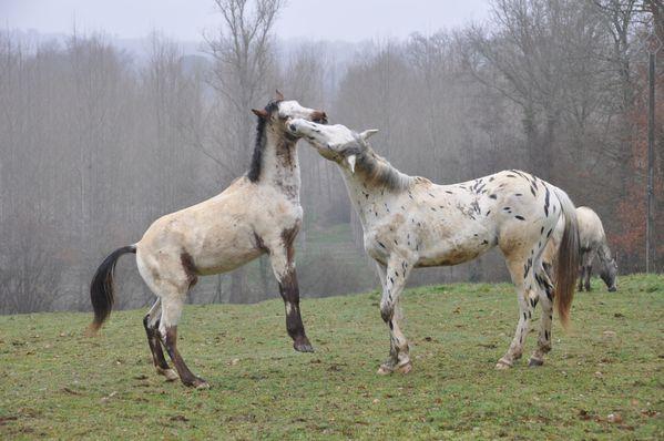 Tepïn cabre & Pico