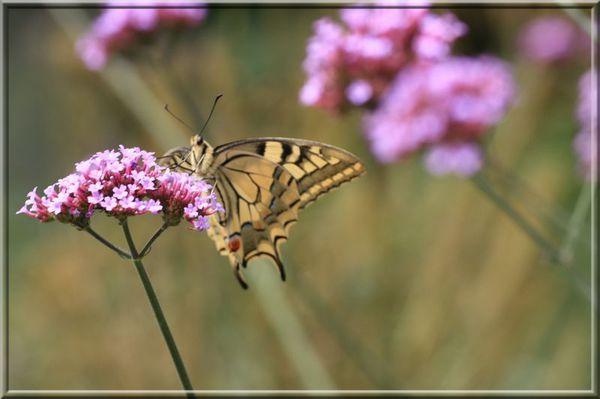 papillon sur verveine b.