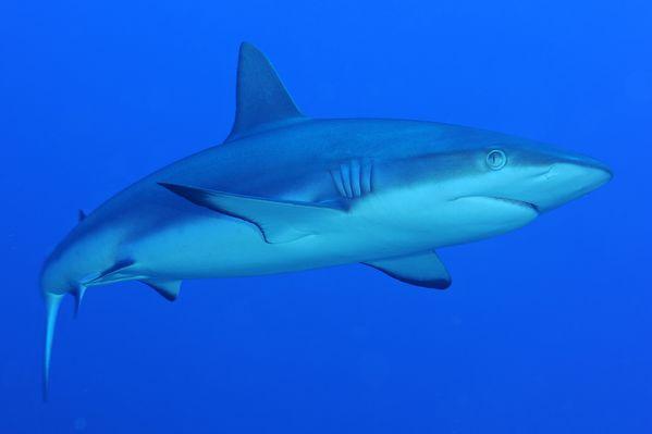 requin-gris.jpg
