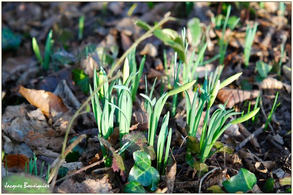 First 2011 daffodils Foret Halatte