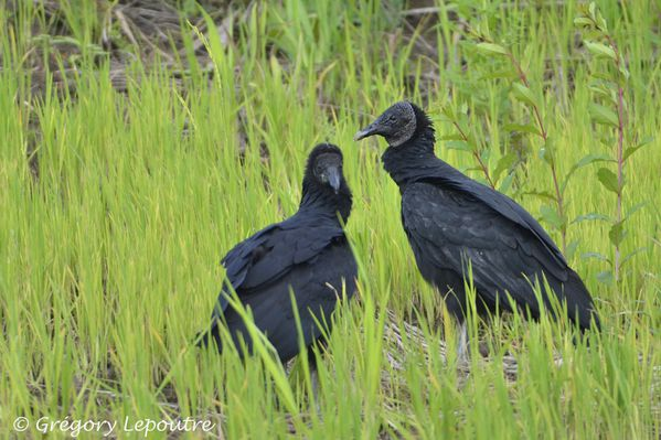 Black Vulture Amazonia 1210 DSC1651 web