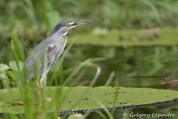 Heron strie Amazonie 191210 DSC1781 web