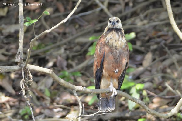 black-collared hawk Amazonia DSC2977 web