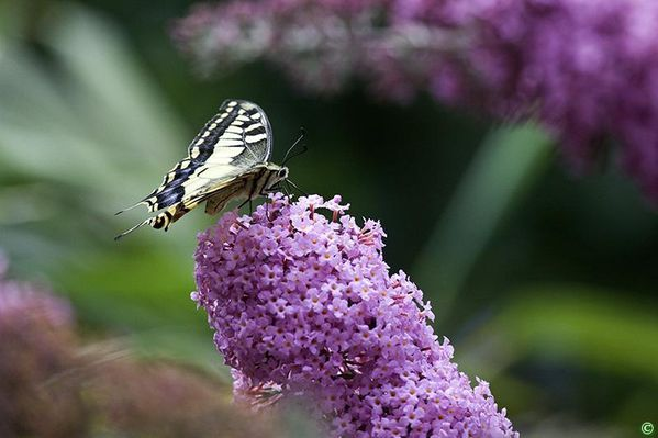 Machaon