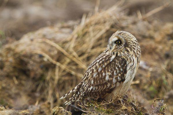 Hiboux des marais, decembre 2011 mail-5454