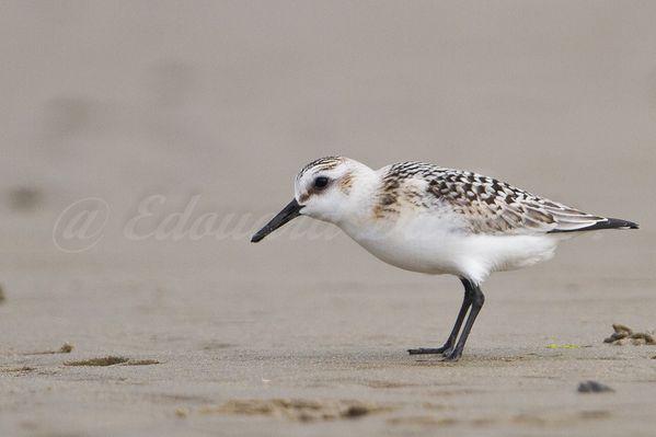 Bécasseau sanderling, clipon dunkerque, septembre-copie-4