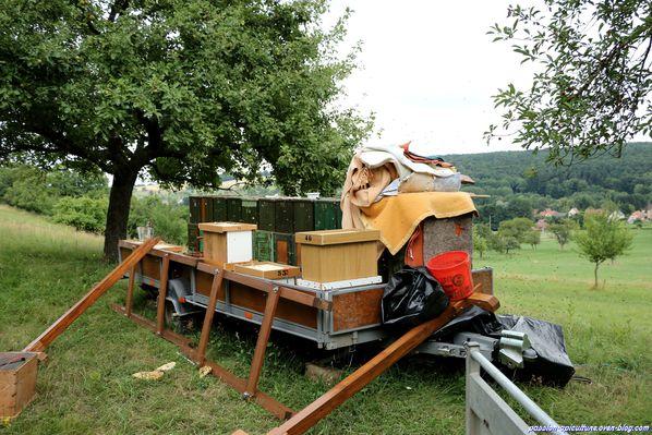 Récolte du miel de châtaignier