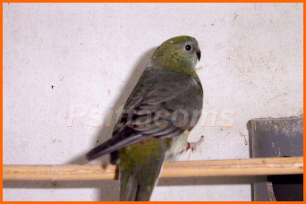 croupion-gris100_0931.jpg