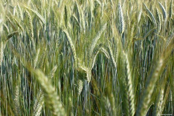 blé 29