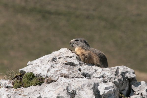 110416 Marmottes 037