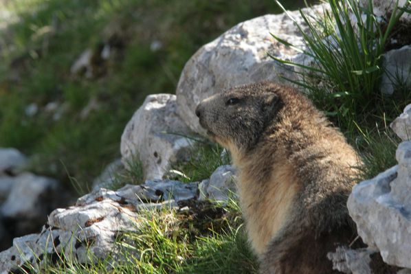 130606 Marmottes 005