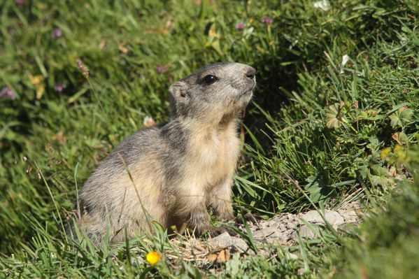 130822 Marmotte 059