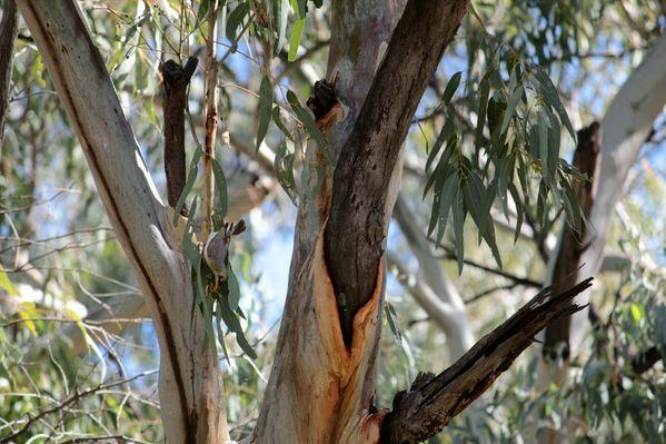 Aussie-oie-MAI-2012 9031 (800x533)