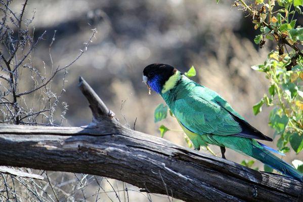 Aussie-oie-MAI-2012 9150 (800x533)