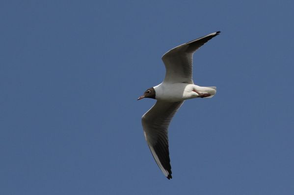 photos9 1737 mouette rieuse Carouge 91