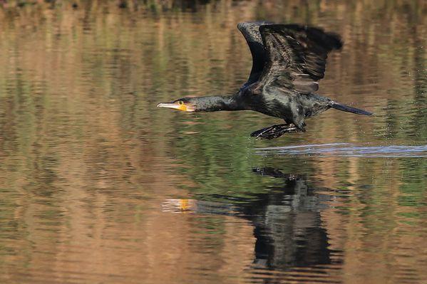 photos991 2147 grand cormoran Rouelles 76 DxO