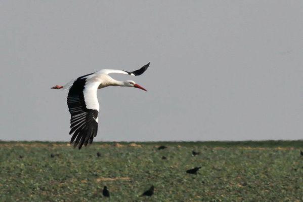 photos9992 5880 cigogne blanche Vert-le-Grand 91 DxO