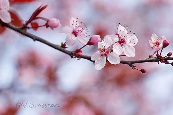 prunus003