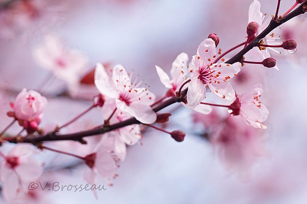 prunus005