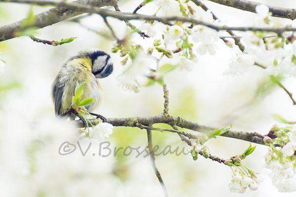 mesange-bleu-cerisier14-02.jpg