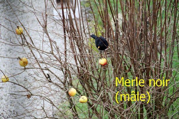 Merle noir m-le[1]