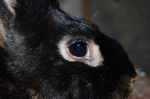 lapin-chèvre Christophe VIGNEAULT2