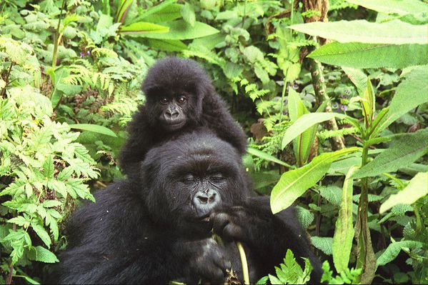 800px-Gorilla_mother_and_baby_at_Volcans_National_Park.jpg