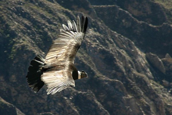 Condor_flying_over_the_Colca_canyon_in_Peru--2.JPG